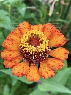 百日草の花のクローズアップ、中に蟻の写真・画像素材[4800656]