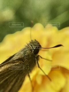 花にとまるセセリチョウ、クローズアップの写真・画像素材[4801414]
