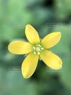 カタバミの花、クローズアップの写真・画像素材[4801412]