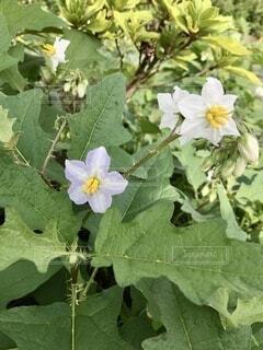 ワルナスビの花の写真・画像素材[4804579]