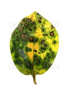 柿の葉、白バックの写真・画像素材[4805791]