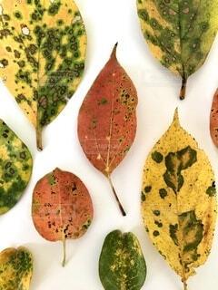紅葉した葉達、白バックの写真・画像素材[4806028]