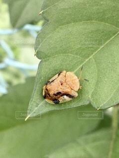 葉の上のヨツモンカメノコハムシの写真・画像素材[4822639]
