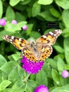 花にとまるヒメアカタテハの写真・画像素材[4853513]
