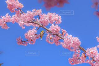 桜とメジロの写真・画像素材[4225475]