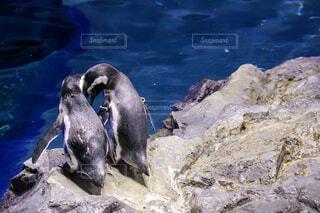 ペンギンのカップルの写真・画像素材[4225818]