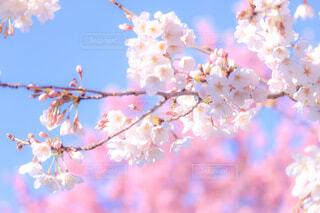 桜の写真・画像素材[4227020]