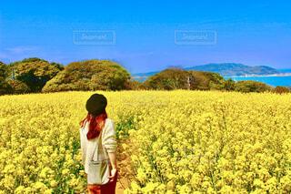 福岡県の能古島の菜の花畑の写真・画像素材[4274424]
