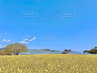 国営ひたち海浜公園のネモフィラと菜の花を一緒に楽しむの写真・画像素材[4353176]