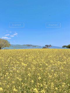 国営ひたち海浜公園のネモフィラと菜の花を一緒に眺めるの写真・画像素材[4353179]