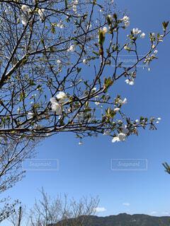 半開の桜の写真・画像素材[4225666]