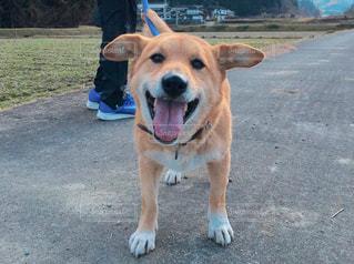 芝生の上の犬の地位の写真・画像素材[938472]