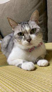 ソファに座っている猫の写真・画像素材[3758874]