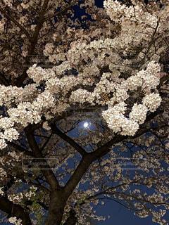 夜桜の写真・画像素材[4235078]