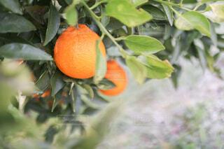 枝からぶら下がっている果物のクローズアップの写真・画像素材[4272128]