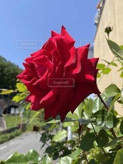 真っ赤なバラと青空の写真・画像素材[4373068]