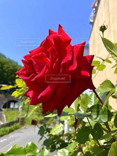 鮮やかな赤の薔薇の写真・画像素材[4373073]