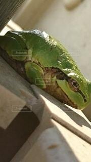 カエルの写真・画像素材[4239255]