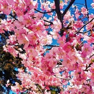 満開の桜の花🌸の写真・画像素材[4241264]