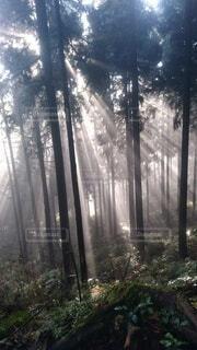 静かな、樹海の朝陽の写真・画像素材[4278123]