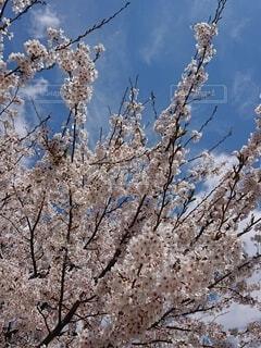 青空のもとの桜の枝と花びらの写真・画像素材[4259561]
