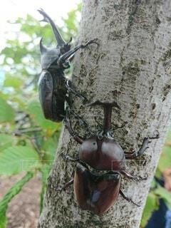 木につかまっているカブトムシ2匹の写真・画像素材[4260204]