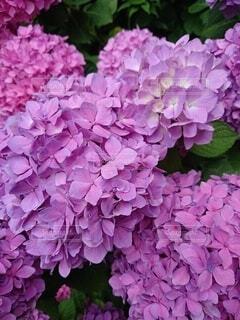 紫とピンクの紫陽花のアップの写真の写真・画像素材[4260219]