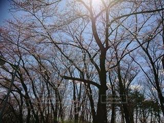 桜の木に太陽の光が射すの写真・画像素材[4260247]