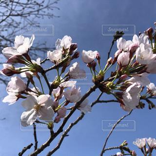 桜とそらの写真・画像素材[4251943]