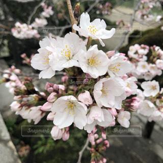 桜の写真・画像素材[4251945]
