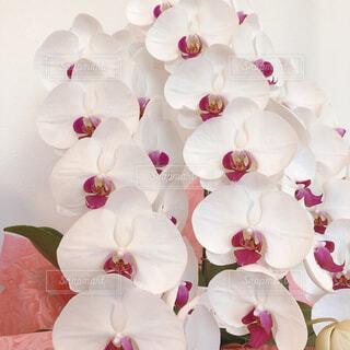 美しい胡蝶蘭の写真・画像素材[4273280]