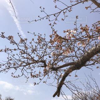 桜と蕾と雲の写真・画像素材[4275022]