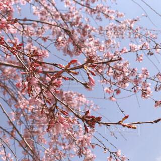 蕾と桜の花の写真・画像素材[4275025]