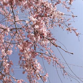 お花見の写真・画像素材[4275027]