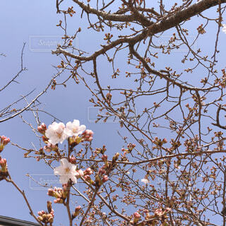 桜と空とつぼみの写真・画像素材[4297331]