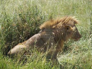 マサイマラ国立公園の野生雄ライオンの写真・画像素材[4252106]