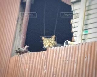 資材置場からこちらを覗くキジトラ猫の写真・画像素材[4276787]