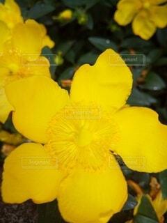 金糸梅の花の写真・画像素材[4520474]