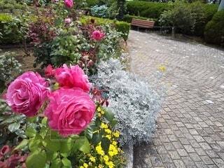 ピンク色バラが咲く公園の写真・画像素材[4553994]