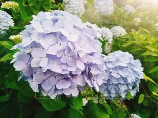 いつかの紫陽花の写真・画像素材[4258976]