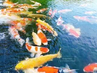 鯉の写真・画像素材[4258985]