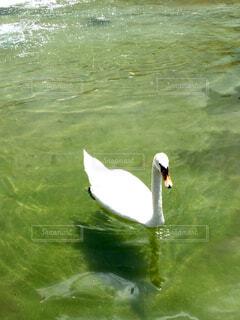 白鳥の王子 イングランドのお城にての写真・画像素材[4259286]