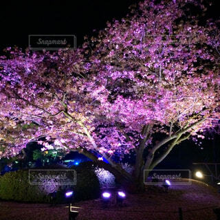 二条城桜の夜桜の写真・画像素材[4259309]