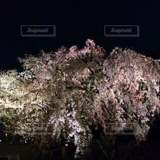 夜桜便りの写真・画像素材[4260818]