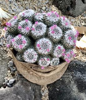 可愛いサボテンの花の写真・画像素材[4339545]