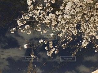 夜の空に浮かぶ桜の写真・画像素材[4268468]