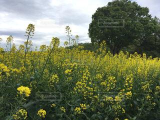 黄色い花畑の写真・画像素材[4268911]