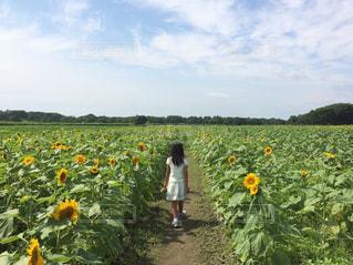 ひまわり畑と女の子の写真・画像素材[184158]