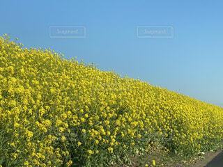 菜の花の写真・画像素材[3617809]