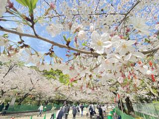 上野公園で青空の日に撮った綺麗な桜の木の写真・画像素材[4288841]